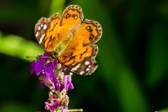 Half-Moon-Bay-Butterfly-2-1